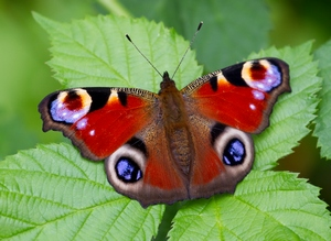 By Tony Hisgett from Birmingham, UK (Peacock Butterfly  Uploaded by Magnus Manske) [CC BY 2.0], via Wikimedia Commons