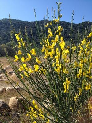 http://www.nwcb.wa.gov/images/weeds/Spanish-Broom-Control_King.pdf